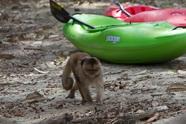 Kayak Ecuador, kayaking in Ecuador, Ecuador kayaking, kayak ecuador, ecuador paddling, padding south america, kayaking south america, monkey, jackson kayak