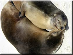 Two sea lions cuddling.